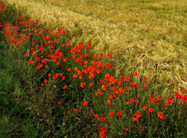 campo amapola transicion borde pleno verano