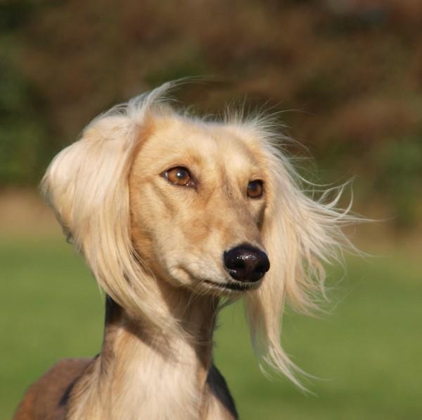perfil mascotas retrato ver perro galgo