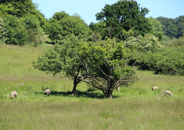 campo dinamarca oveja paisaje naturaleza