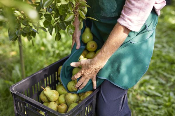 agricultor organico cosechando peras williams