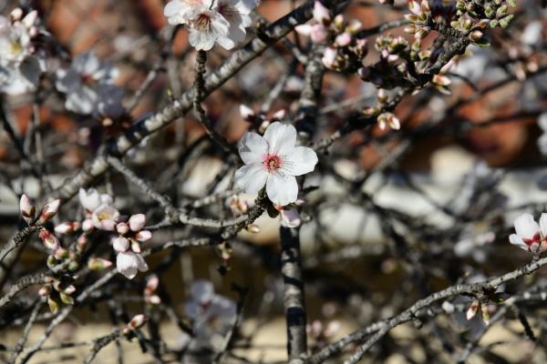blossoms, on, almond, tree, , alicante - 28217490