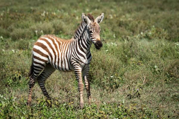 plains, zebra, foal, stands, in, short - 28257568