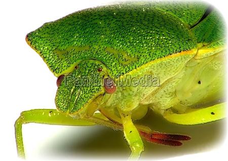 primer plano opcional insecto verde retrato