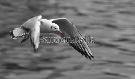 red billed gull
