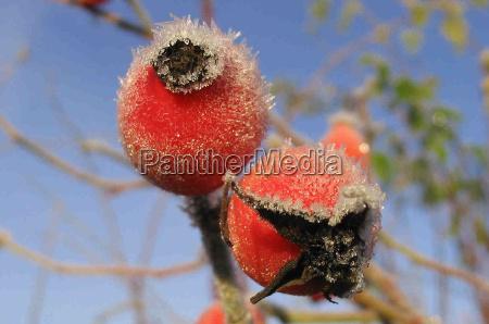 inverno frio geada fruta hoarfrost quadril