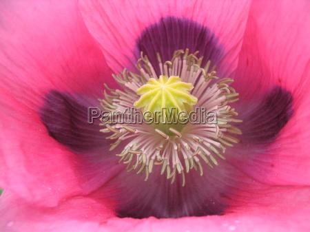 close up jardim flor papoula cama
