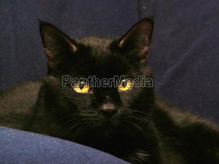 negro ojos orejas piel brillo gato