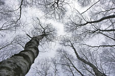 arbol arboles abedul ramas gran angular