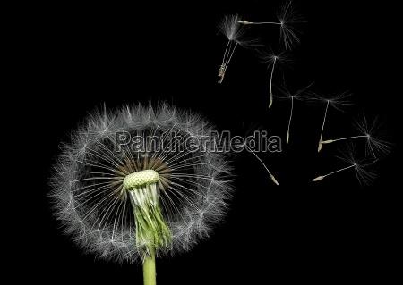 close up opcional dandelion espermatozoide desbotada