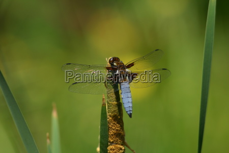 tail tail male
