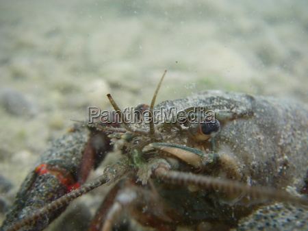 crayfish in stretch