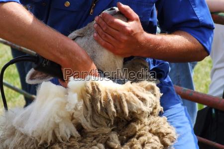 agricultura oveja lana esquila de ovejas