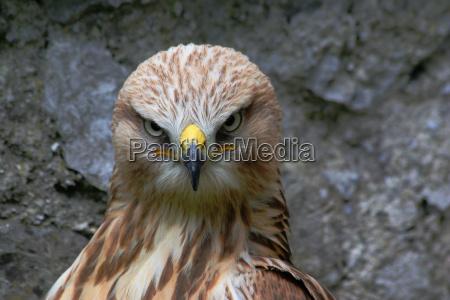 pajaro los animales aves ojos greifvogel