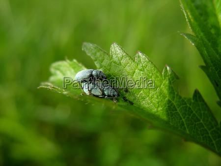 hoja primer plano insecto escarabajo reproduccion