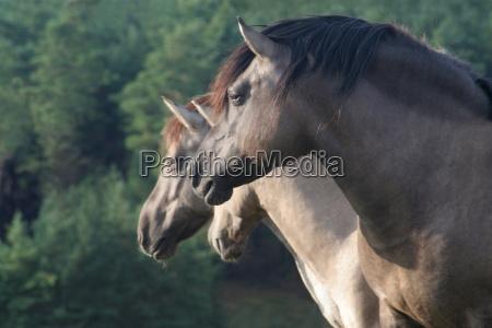 asia ver piel pacificamente armonia caballo