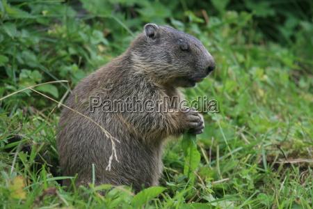 marmot con handicap