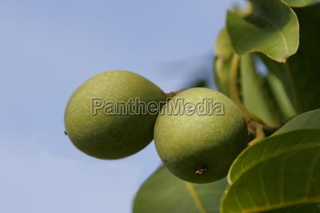 arbol verde hojas fruta membrillo cosecha