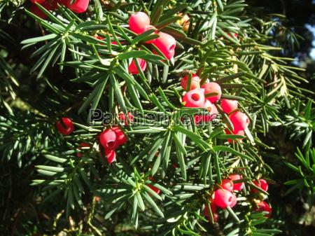 arbol verde fruta arbusto conifera bayas