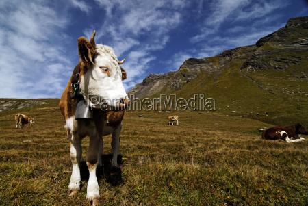 vaca en el pasto de la