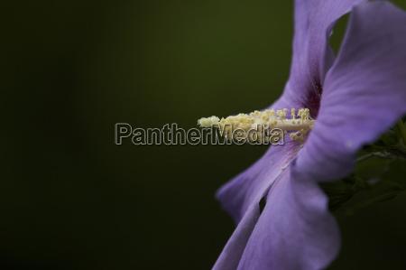 verde flor purpura polen hibisco lado