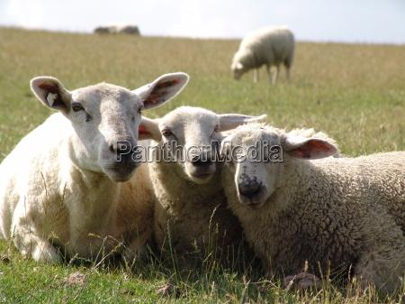 queridas ovejas