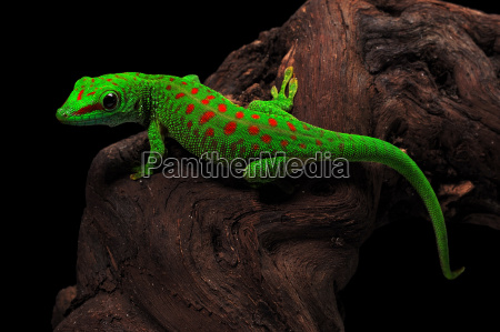 gecko del dia de madagascar