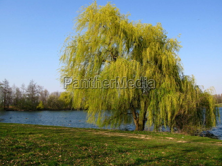 weeping willow 2