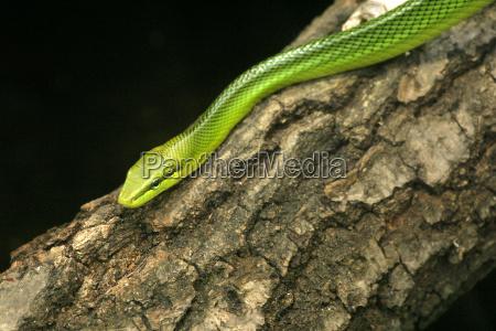 arbol reptil verde marron negro contraste