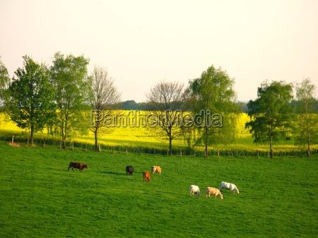 happy cows 2