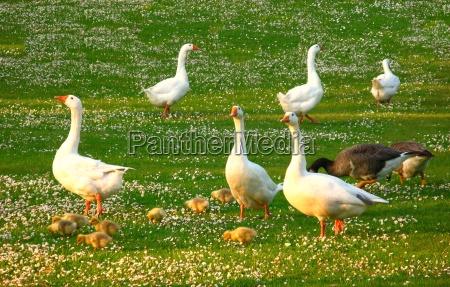 all my ducklings