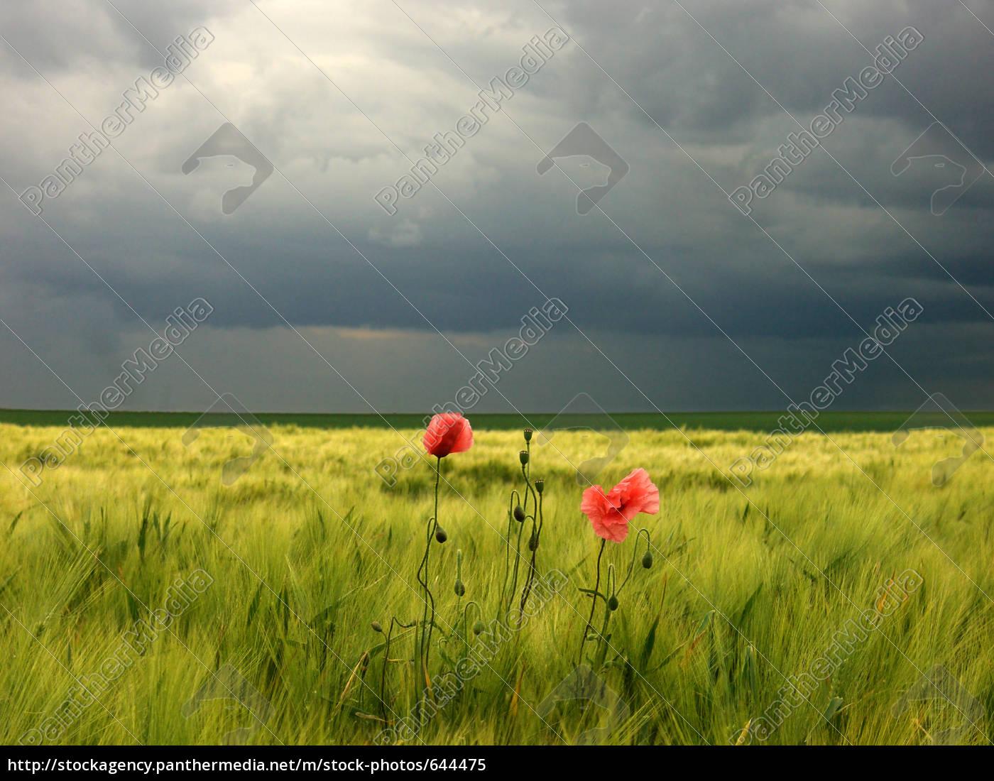 amapola, chismosa, en, campo, de, cebada - 644475