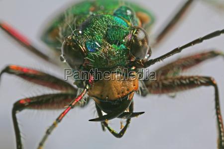 primer plano los insectos verde escarabajo