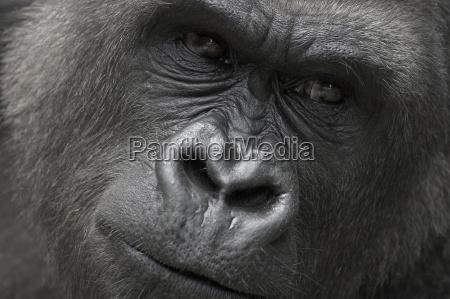 cara mono ojos gorila primate