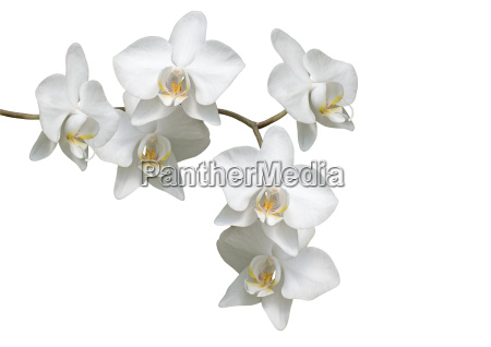 orchidefor