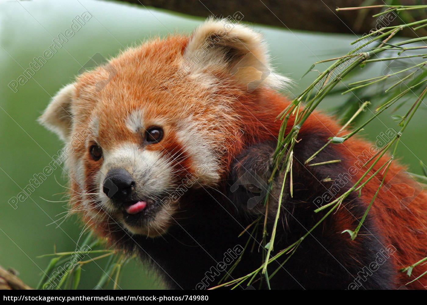 panda, rojo - 749980