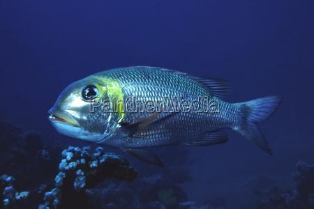 hugo el pez plateado