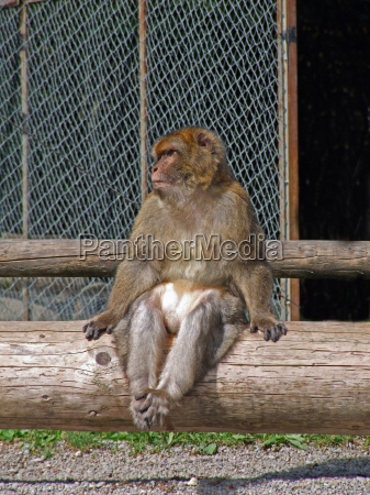 tronco mono mamiferos los monos primate