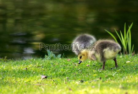 two goose chicks