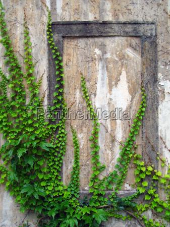 antigua muralla con hiedra