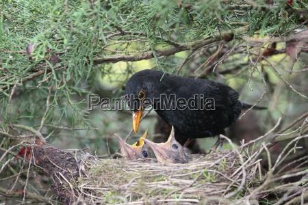 blackbird alimenta a sus pequenyos
