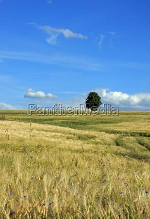 arbol campo cebada tilo cielo paisaje