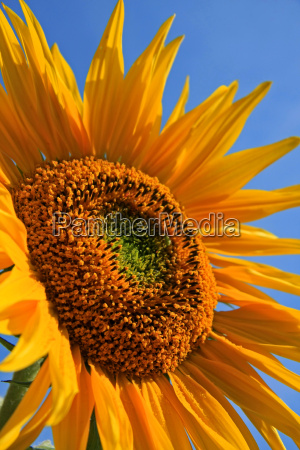 flor de flor de sonnendan