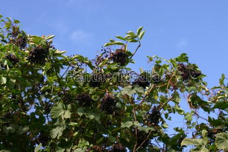 arbol hojas arbusto bayas septiembre mayor