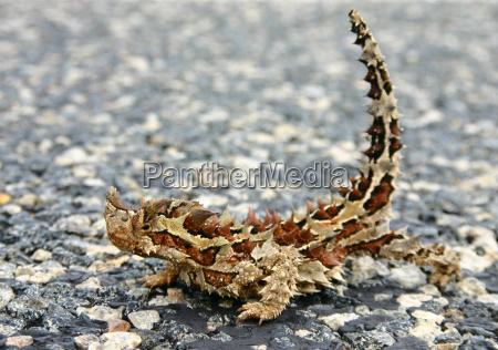 moloch horridus tambien conocido como diablo
