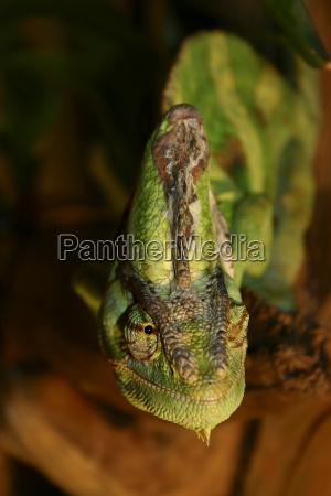 reptil lagarto ojos ver escala mitologia
