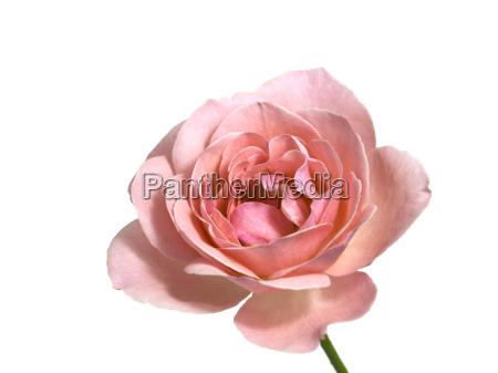 rosa de san valentin se levanto