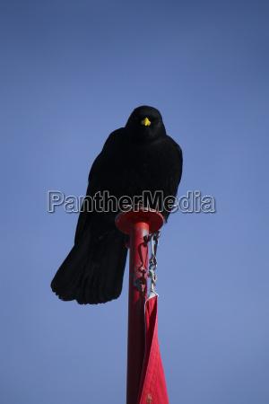 azul pajaro negro aves bandera grajilla
