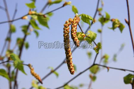 abedul primavera polen alergia