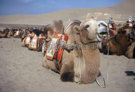 desierto paseo camello duna bactriano montar