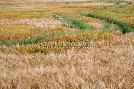 agricultura campo sentir maizal paisaje naturaleza